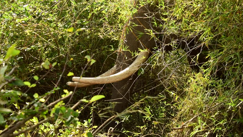 Raw Asia Elephant in real Wildlife ,Big Boy With Long White Ivory walks  from the forest. Amazing Real in The Jungle. | Shutterstock HD Video #1005613807