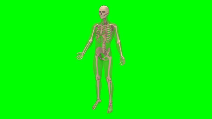 3D rendering of male skeleton rotation on chroma key background