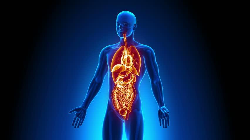 Male anatomy - Human All Organs scan