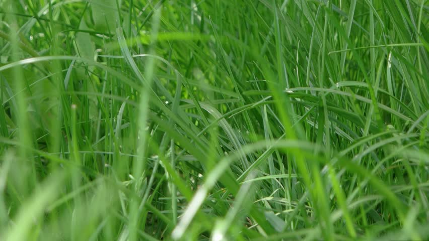 the feasibility of cogon grass as Cogon grass (imperata cylindrica), also called silver hair grass or sword grass  coco coir or the coconut fiber comes from the coconut palm (cocos nucifera).