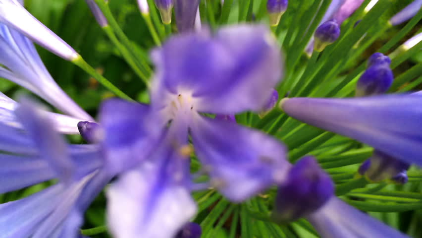 Header of Agapanthus