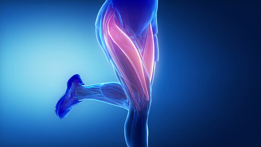 Thigh muscles - leg muscles anatomy animation