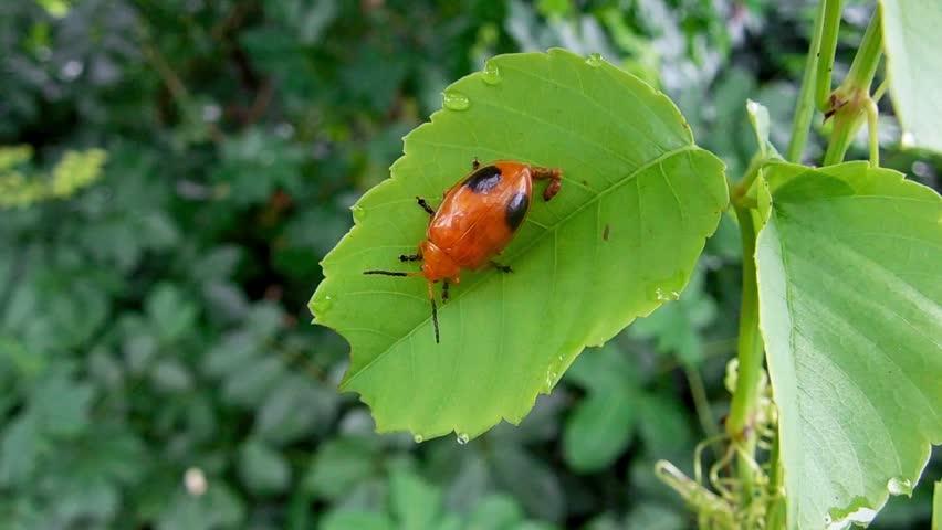 Header of Chrysomelidae