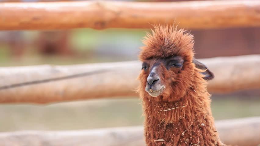 Header of Alpaca