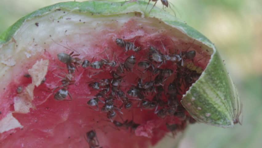 Watermelon Gun Shot Stock Footage Video 4703813 - Shutterstock