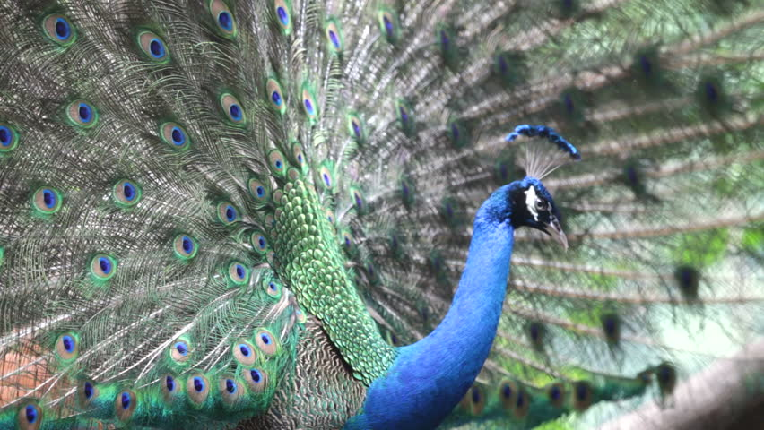 Peacock Singing, HD, Sound Stock Footage Video 432043 ...