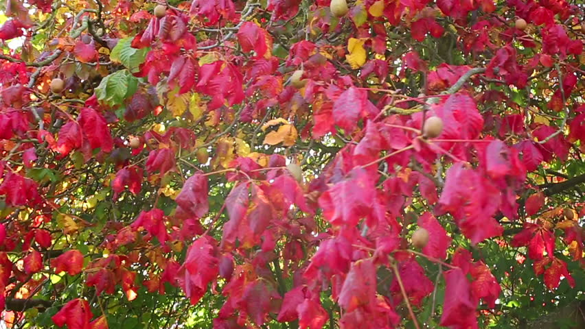 Panning Across A Large Red Leafed Tree In Autumn Colours   HD Stock Footage  Clip