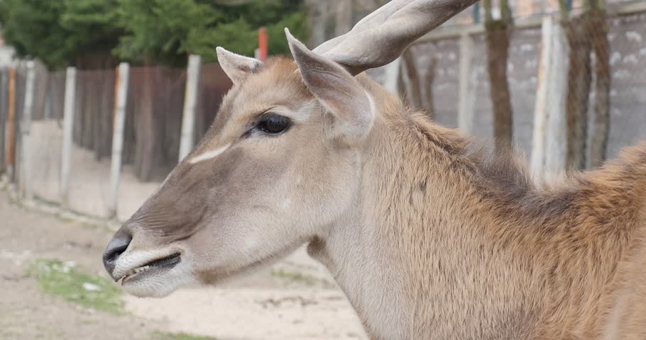 Footage of an eland antelope eating... | Shutterstock HD Video #12135821