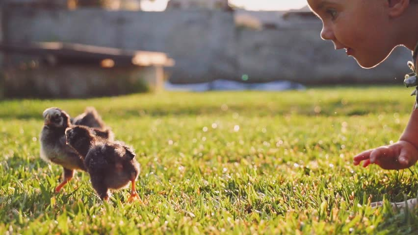 Toddler girl is playing  with little baby chickens on a green grass. Slow Motion 240 fps. Cute little baby discovering the world, getting to know fluffy chickens. Childhood and Easter concept.   | Shutterstock Video #12188501