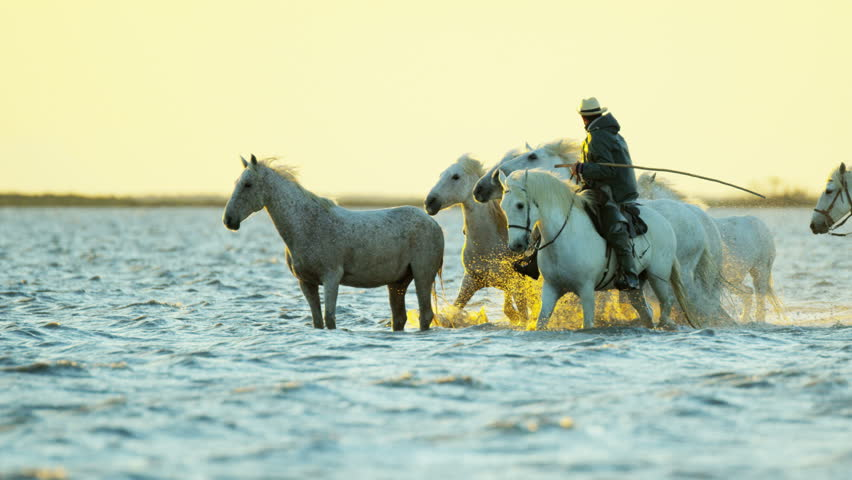 Camargue, France animal horse wild white livestock sunrise rider cowboy running water Mediterranean nature tourism travel RED DRAGON | Shutterstock HD Video #12327656