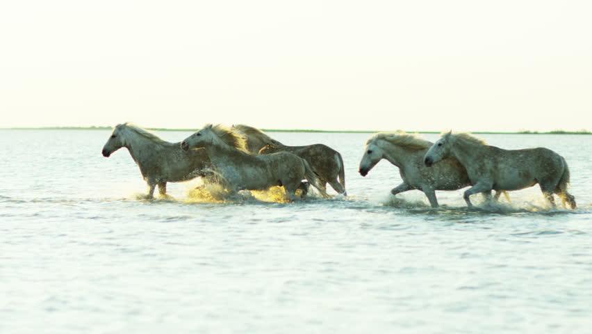 Animal horses wild white livestock female rider cowboy sea Mediterranean nature Camargue, France outdoors marshland freedom RED DRAGON | Shutterstock HD Video #12329615