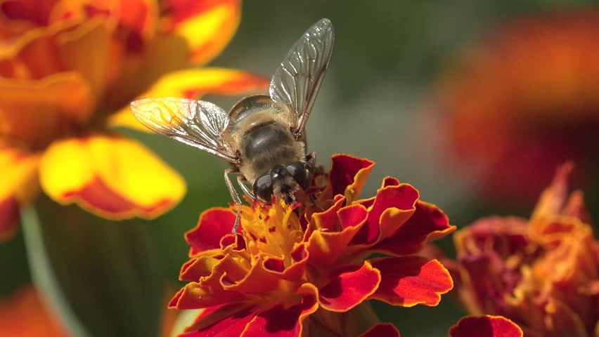 Bee, abeja crawling on a red flower in the garden, on a bed of flowers, in the field, in the garden, in the forest nature beauty flora green background, field, forest meadow,  Anthophila, Apiformes | Shutterstock HD Video #12797687
