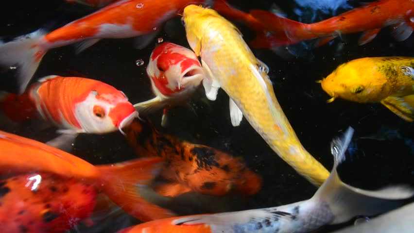 How to choose the best pond fish for sale tips and guides for Pond stocking fish for sale