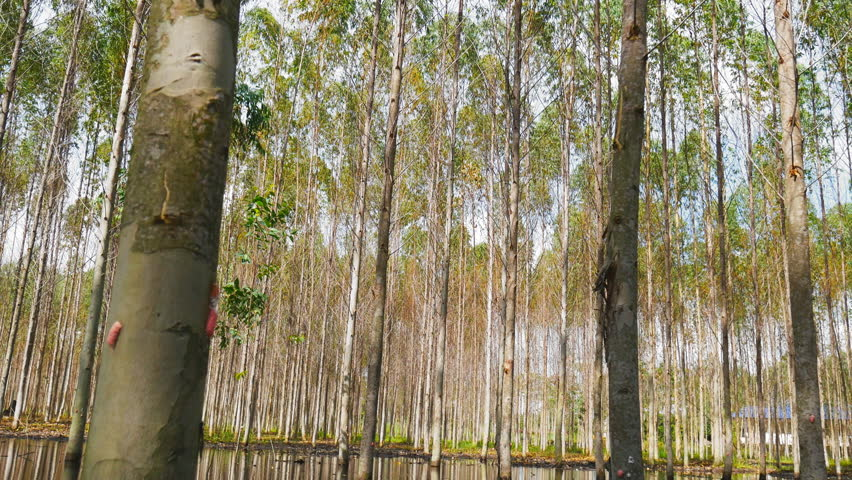 Header of Eucalyptus Tree