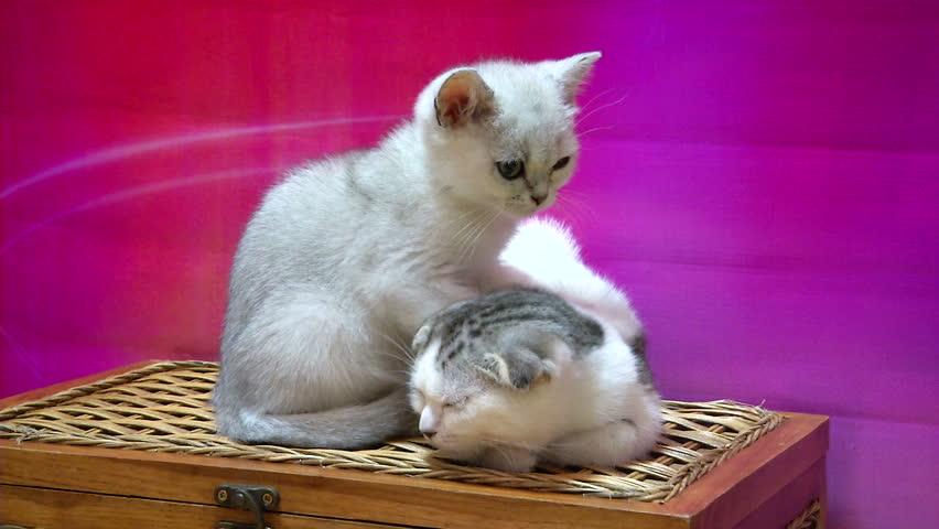 White cat massages cat.   Shutterstock HD Video #13769222
