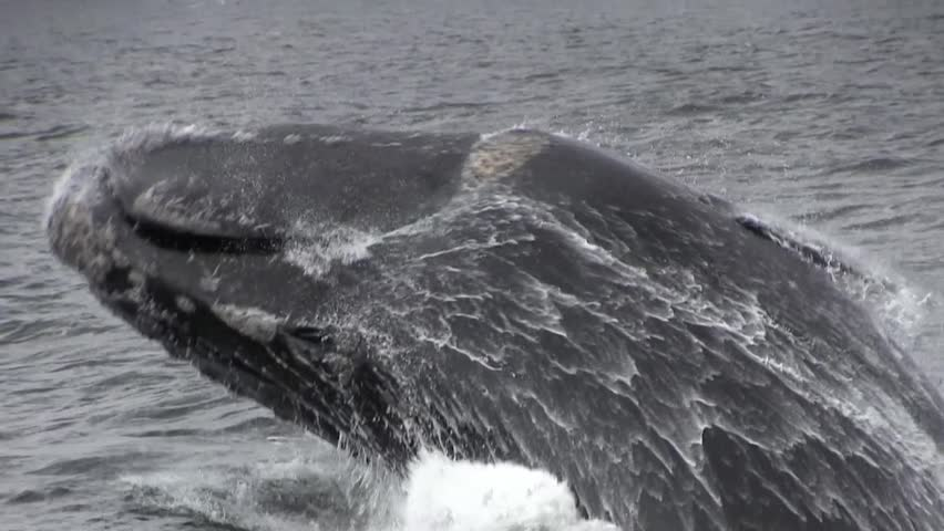Southern Right Whale Breaching Close Up