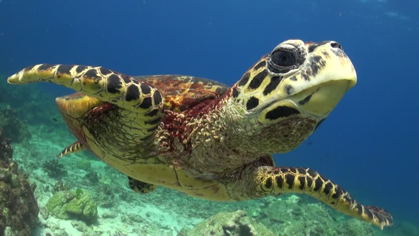 Hawksbill Sea Turtle is swimming and chases the camera probably seeing it's mirror image.