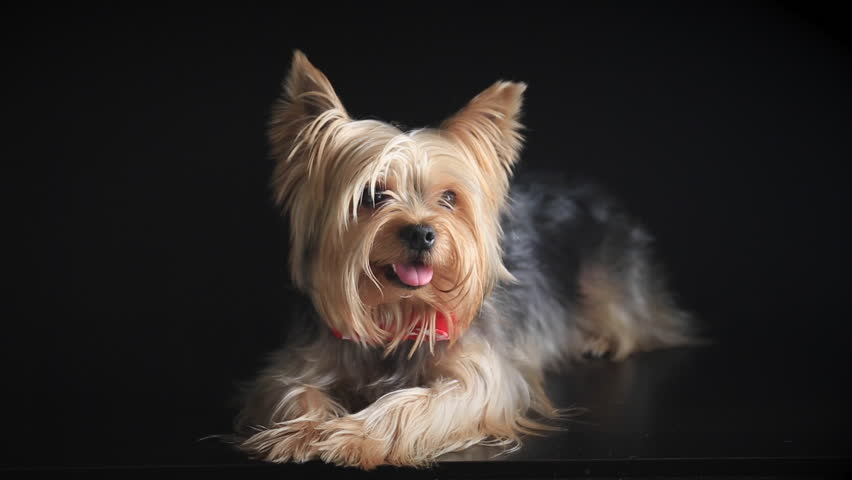 Yorkshire Terrier stares into the camera and lies   Shutterstock HD Video #14086514