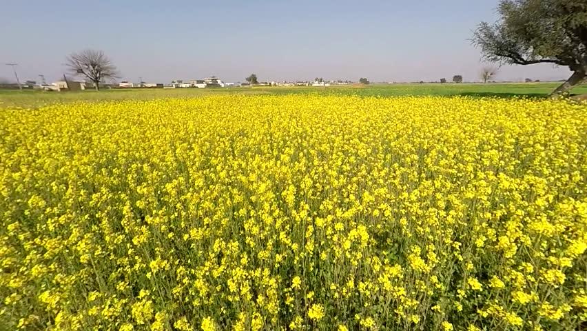 Image Gallery Mustard Plants