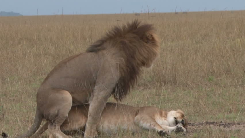 Lions mating.