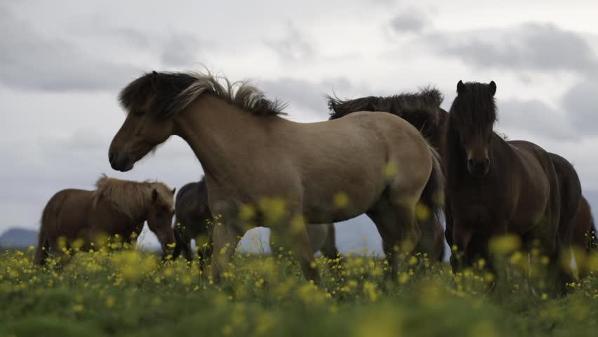 MS SLO MO SELECTIVE FOCUS Brown horses grazing in meadow / Skogar, Iceland - 07/10/2014   Shutterstock HD Video #14245901
