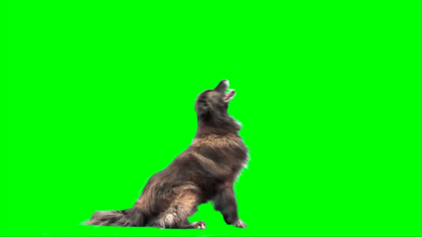 Big sheep dog jumps on 2 legs on green screen