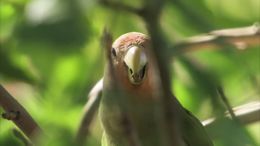Header of Amazona autumnalis