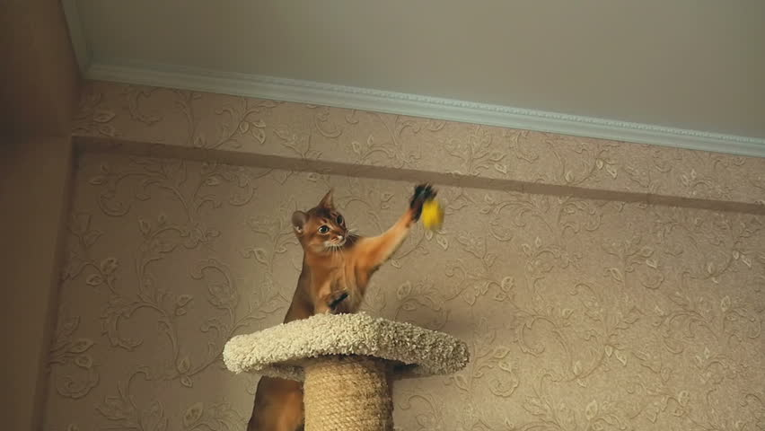 Abyssinian cat tail length