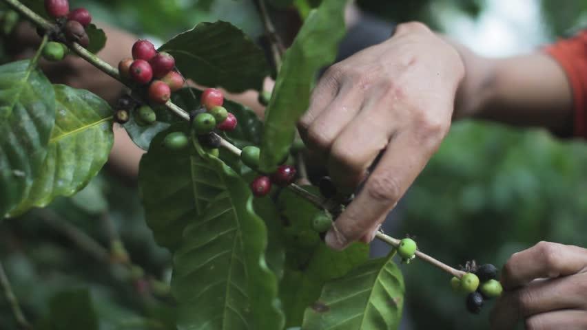 Coffee Farmers Picking Coffee Beans Cherries