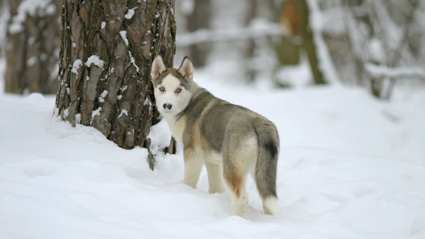 7 in 1 video! Dog play with branch in a snowy forest. Real time capture | Shutterstock HD Video #15228955