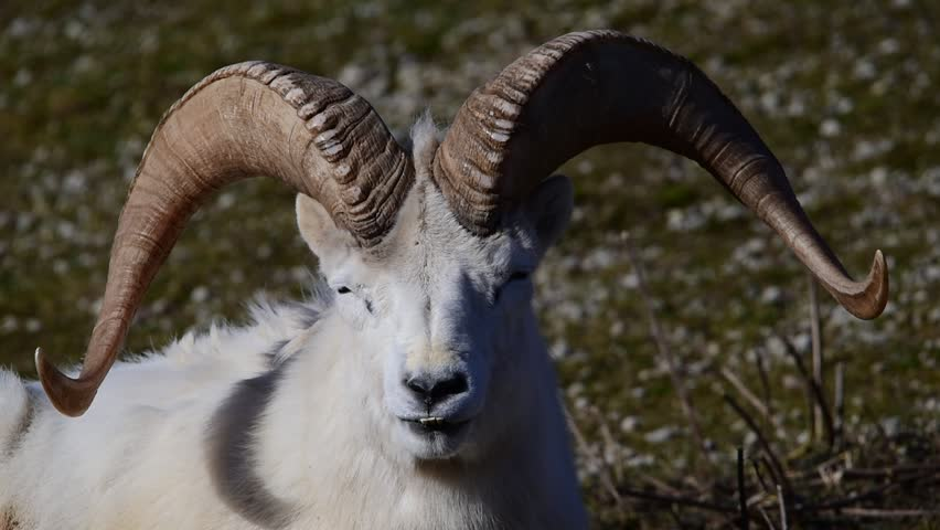 Dall sheep (Dall's sheep), Ovis dalli, is a species of sheep native to northwestern North America.  | Shutterstock HD Video #15331720