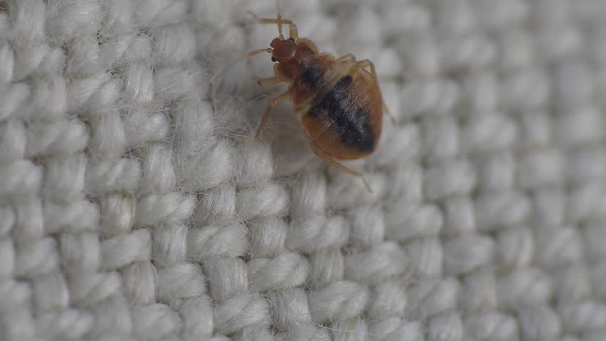 Bedbug insect parasite on the sheet in bed at night, macro | Shutterstock HD Video #15918142