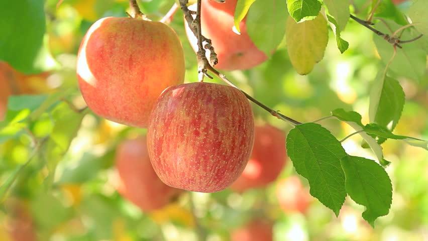 Apple Tree Stock Footage Video - Shutterstock
