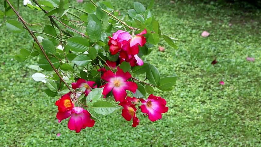 Header of Rosaceae