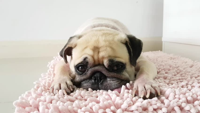 pug laying down pug footage stock clips 4460