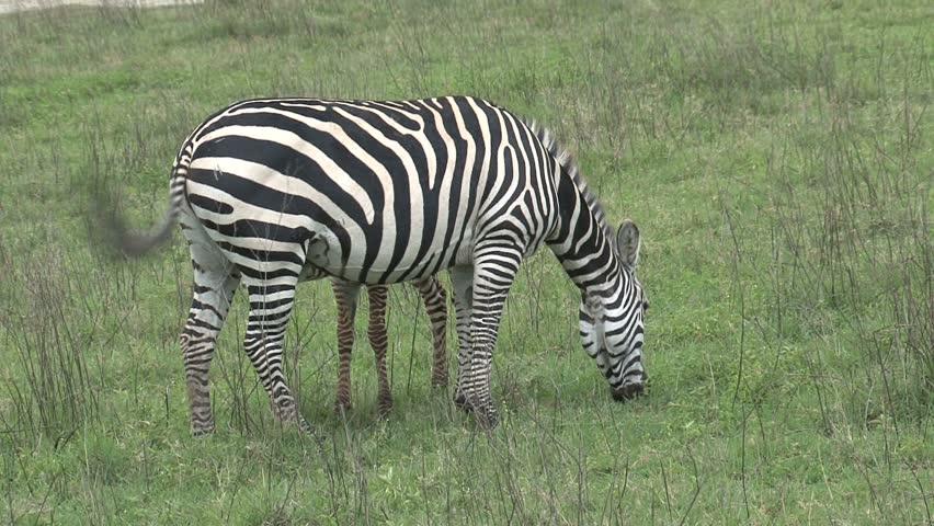 Zebras in Tanzania | Shutterstock HD Video #1687564