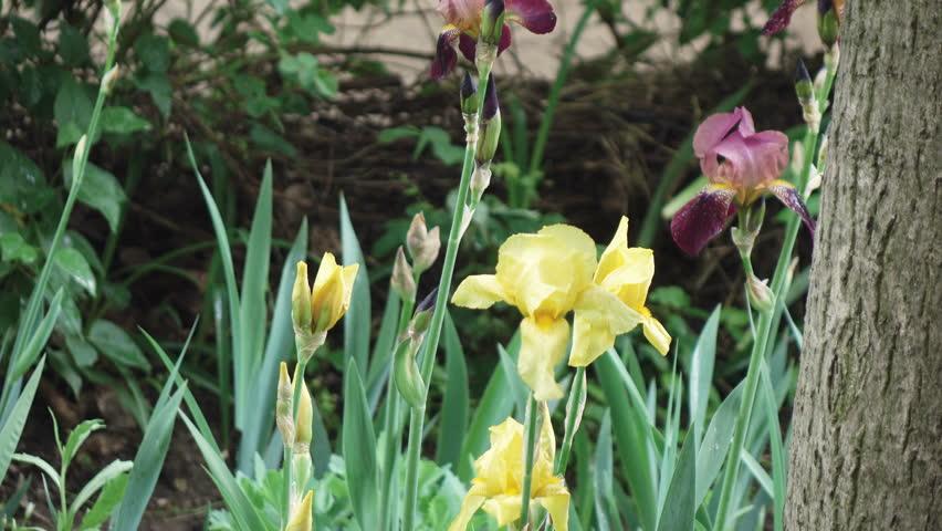 Header of iridaceae
