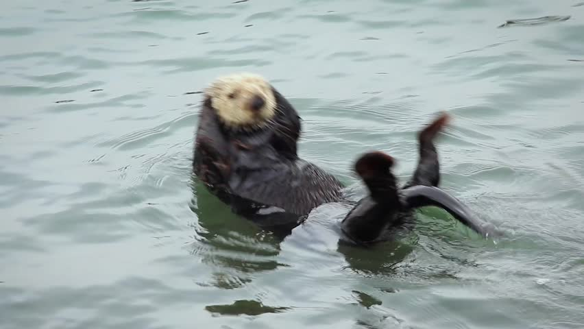 An Endangered Sea Otter plays and rolls around. Cute & adorable wildlife behaviour in the kelp of the Pacific Ocean (California).