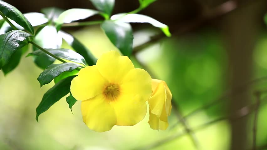 Header of Allamanda Cathartica
