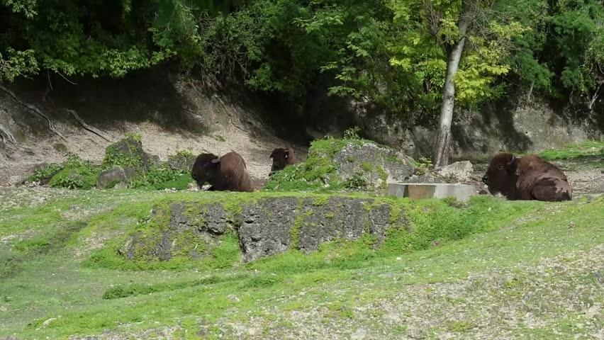 Header of American bison