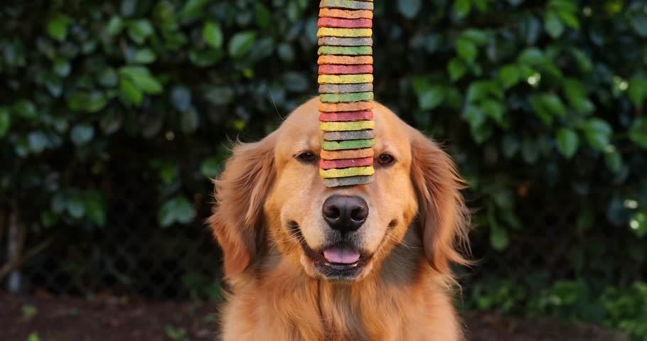 Golden retriever dog balancing tall stack of cookies on his nose