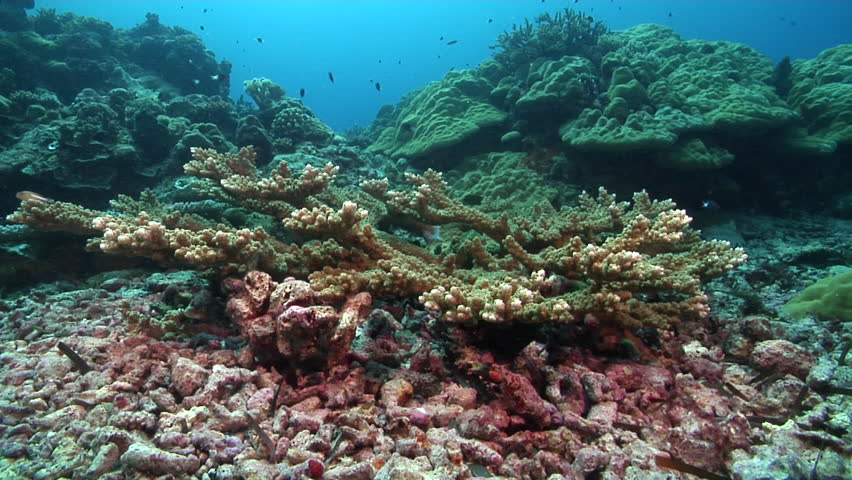 Header of Acropora microclados