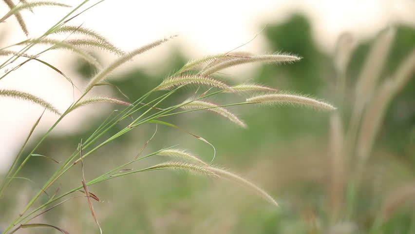 the feasibility of cogon grass imperata How can the answer be improved.