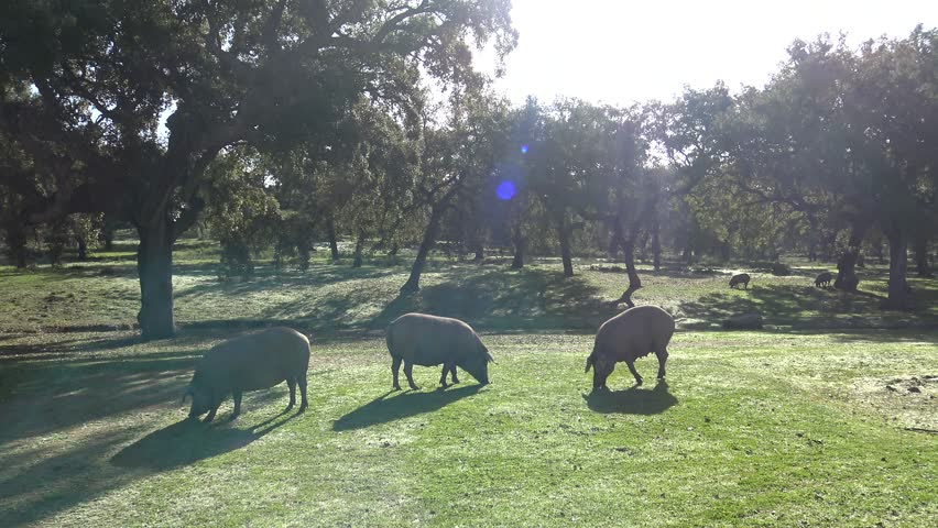 4K Black Iberian Pigs To Pass Through The Oak Trees in the Dehesa of Extremadura, Spain. Spanish Hogs Eating Acorn a good day of winter with Sun's Rays in the field.-Dan