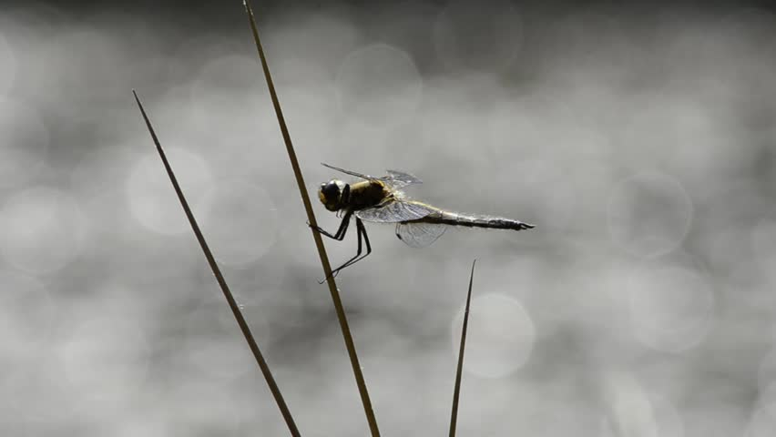 A dragonfly  resting after hunting   HD stock footage clip. Silverfish Home  Lepisma Saccharina   In The Bathroom In The Bath