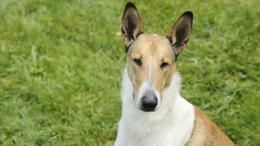 Portrait of Smooth Collie dog. | Shutterstock HD Video #19352782