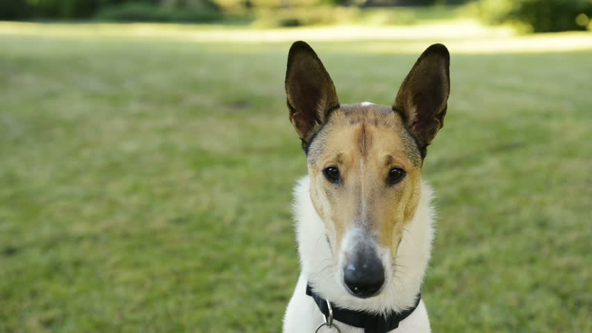 Portrait of Smooth Collie dog. | Shutterstock HD Video #19352785