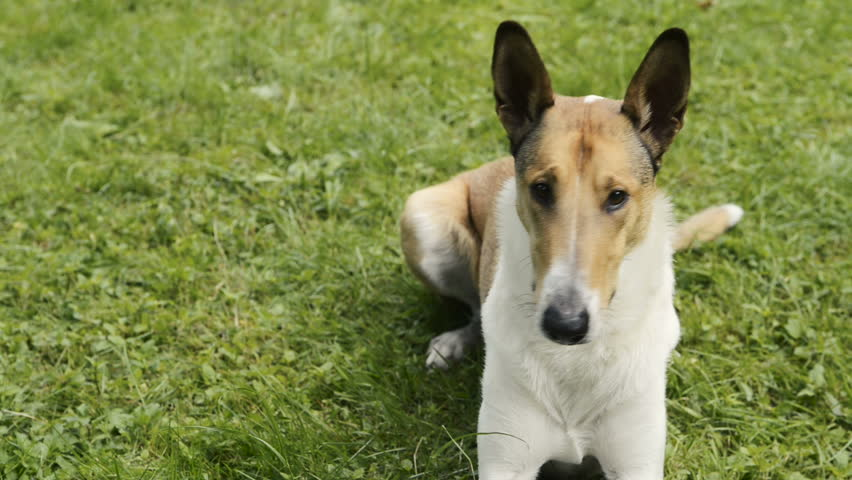 Smooth Collie pet dog lying on the lawn | Shutterstock HD Video #19354963
