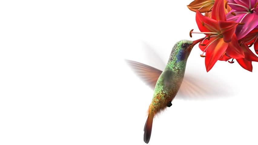 Humming bird, beautiful 3d animation