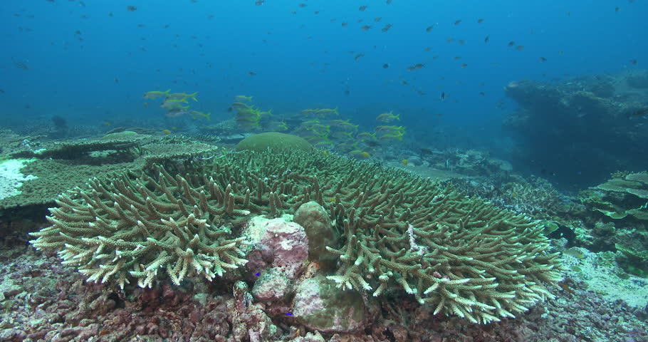 Header of Acropora valenciennesi